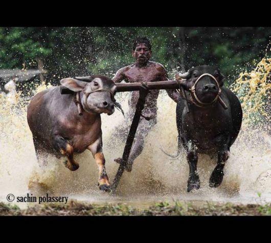 The Bull Race Festival Of Kerala