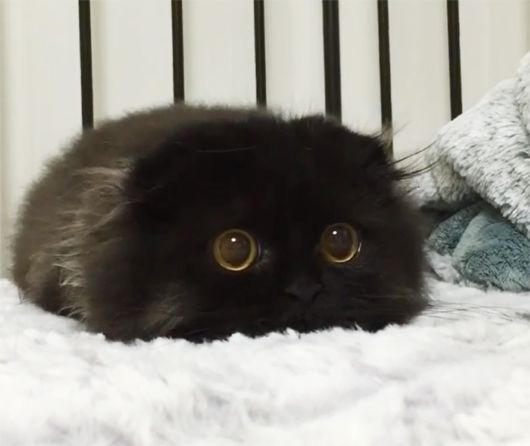 Gimo - The Cat With The Biggest Eyes