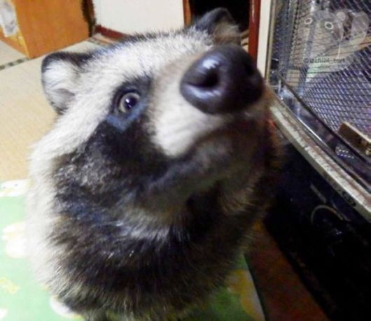 Poor Rescued Racoon Dog Becomes Adorable Japanese House Pet