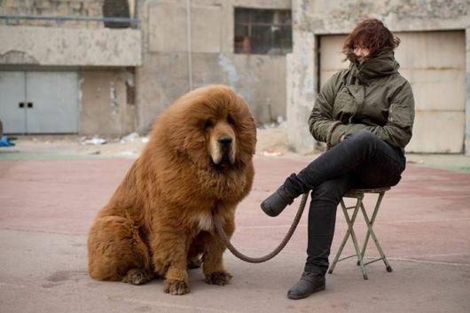 Million Dollars Mastiff At Tibetan Dog Expo